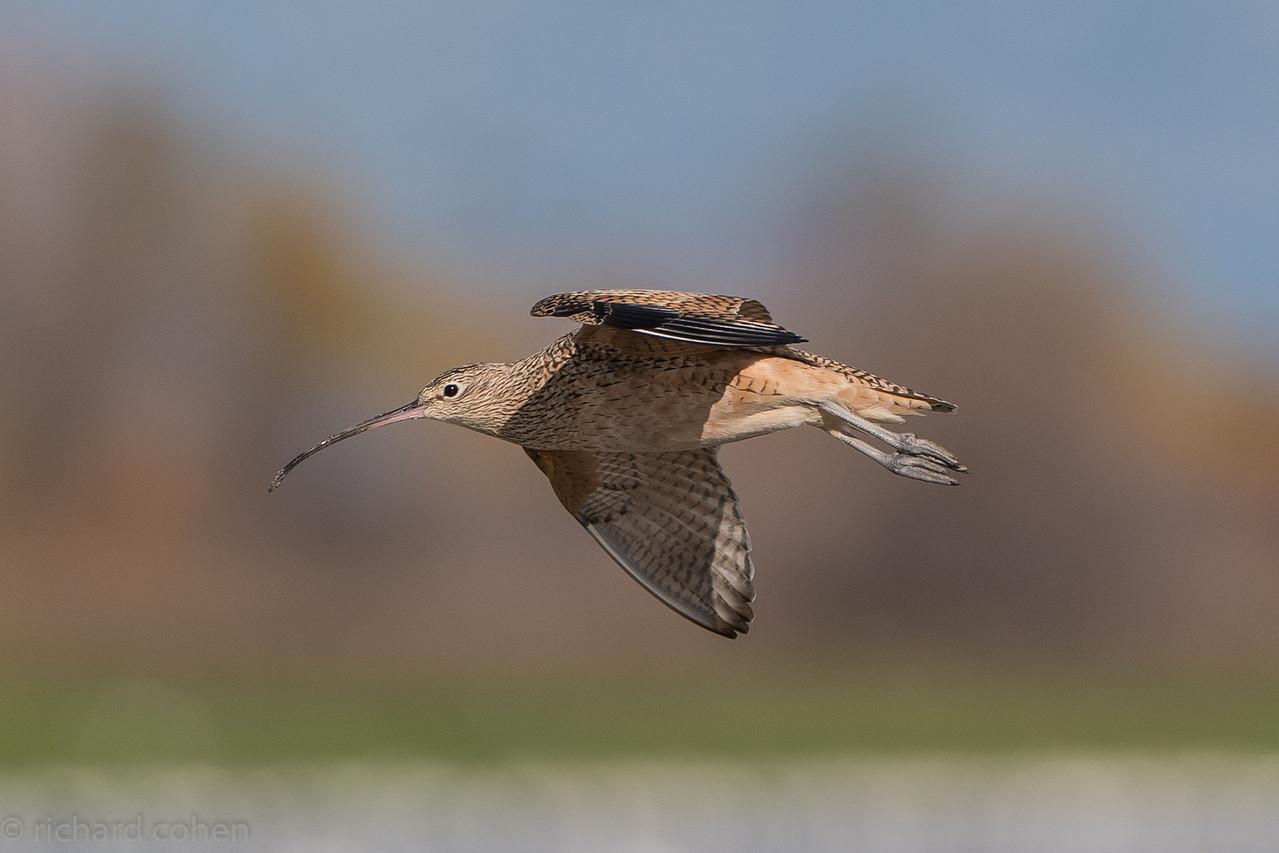 Long billed curlew in flight.