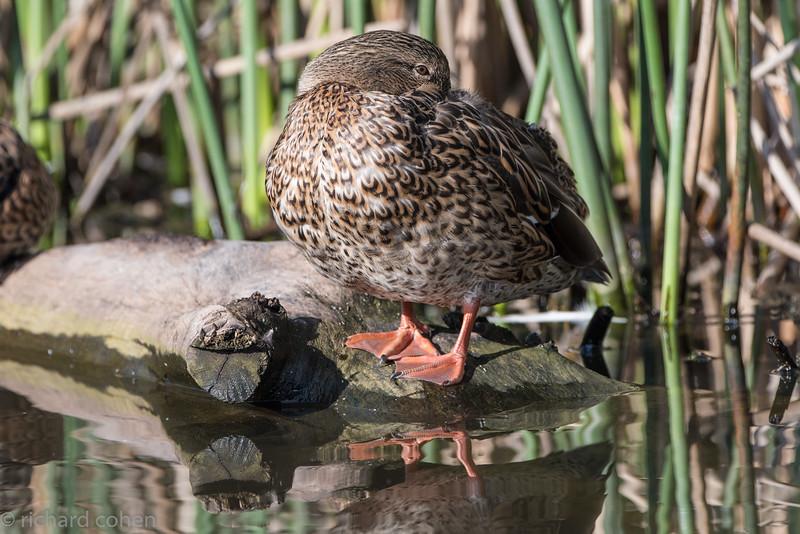 Very shy duck...