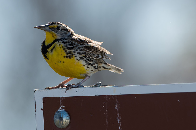 One of the first birds we saw near the refuge entrance--a meadowlark.