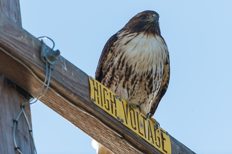 I have taken pics of hawks on this sign before. They have a nice vantage point to look out on the fields from this spot. I like the sign!