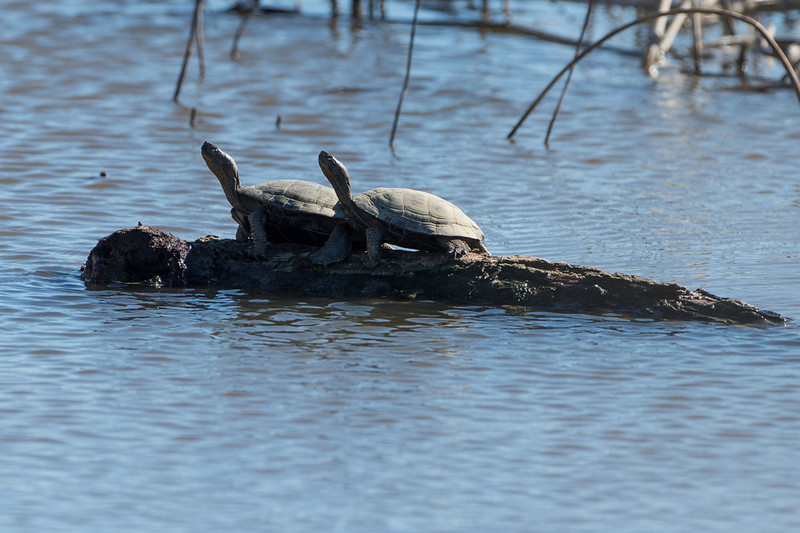 We often see turtles in this same spot bagging some rays.