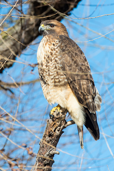 One of the many red tailed hawks we saw.