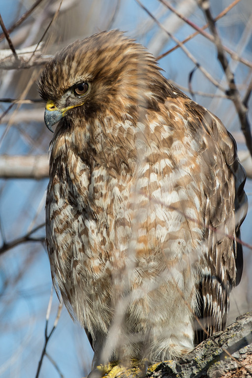 This guy was sitting in a tree very close to us and was not bothered by our proximity. There were branches in the way, but still nice to get this close. I think it is a young Cooper's hawk, or maybe a Northern goshawk.