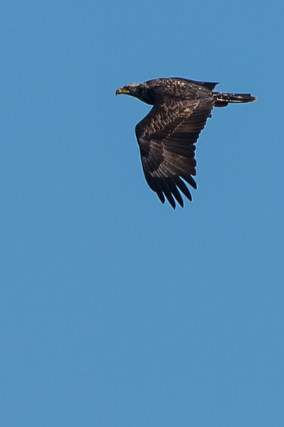 Juvenile bald eagle in flight. At the time we saw this I thought it was just another big hawk.