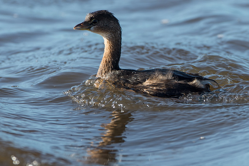 a grebe..i don't think i've seen one of these before