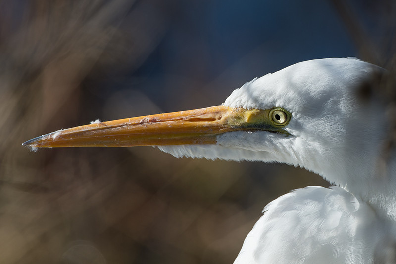 a few of the friendly egret. beautiful eye and feather detail.