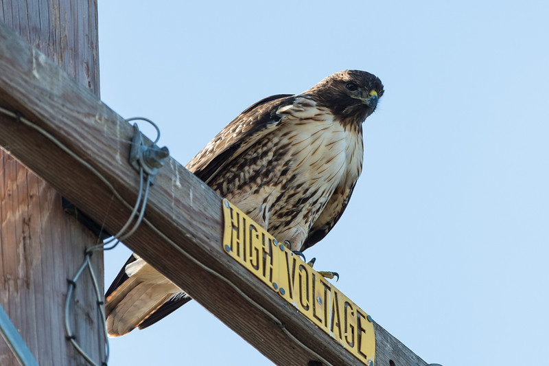 not the first time i've seen a hawk on top of this sign.