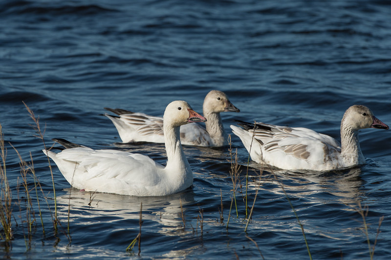 juvenile and adult snow geese..