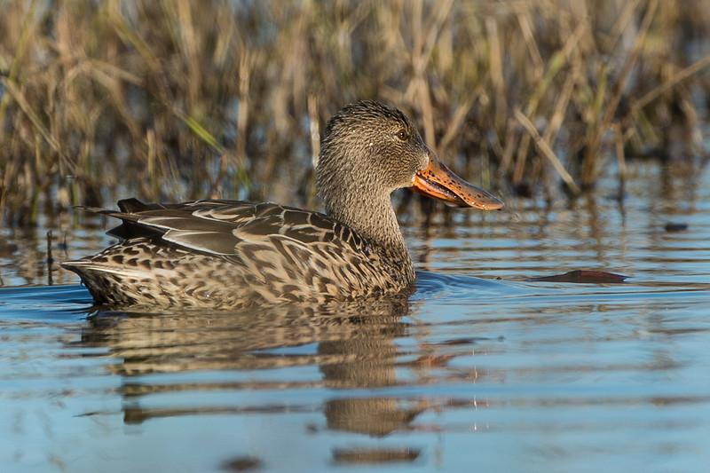 duck section....northern shoveler female