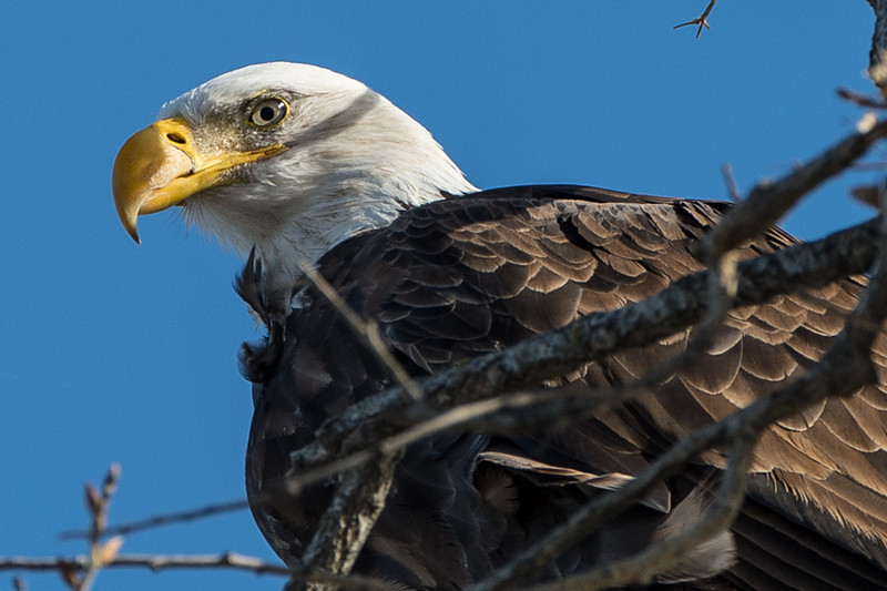 there was a pair of bald eagles in the 'eagle' tree and they were nice enough to give me a couple of good poses.