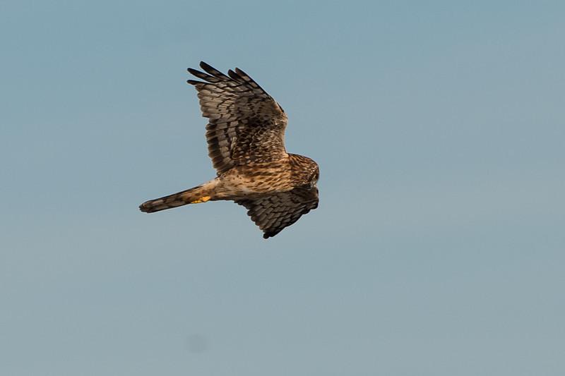 harrier in flight..