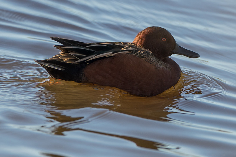 lisa loves the cinnamon teal ducks, which always hang out in the same spot but are hard to get a good picture of.