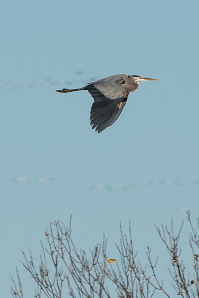 great blue heron from a long distance