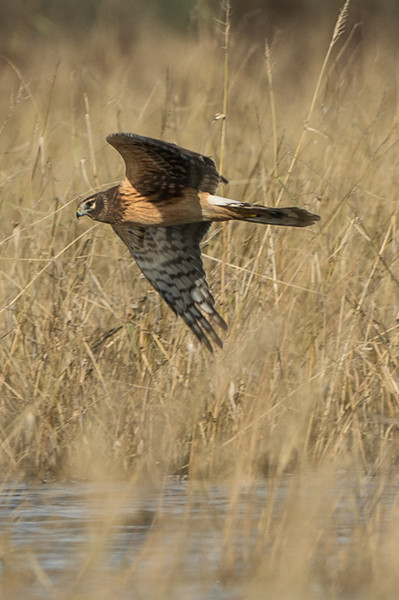 just above the grasses, a harrier looking for lunch!