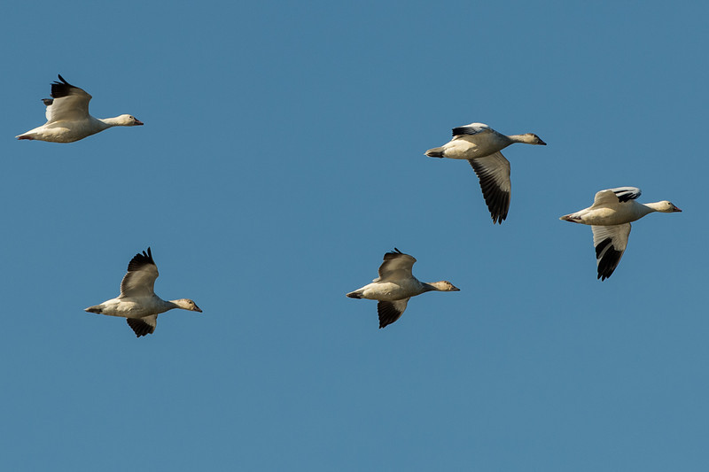 obligatory snow geese in flight picture..