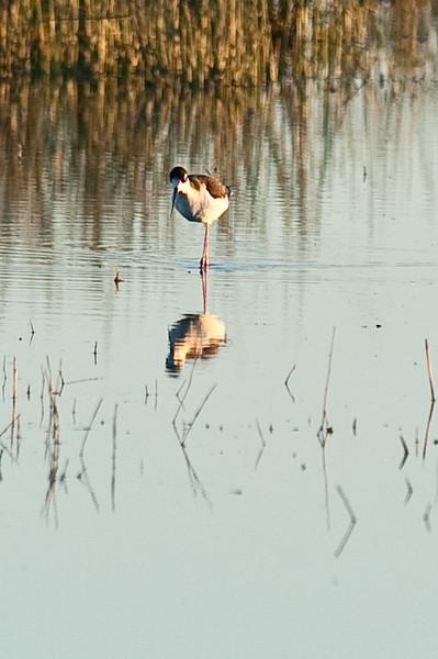 Sand Hill Cranes Lodi 2011