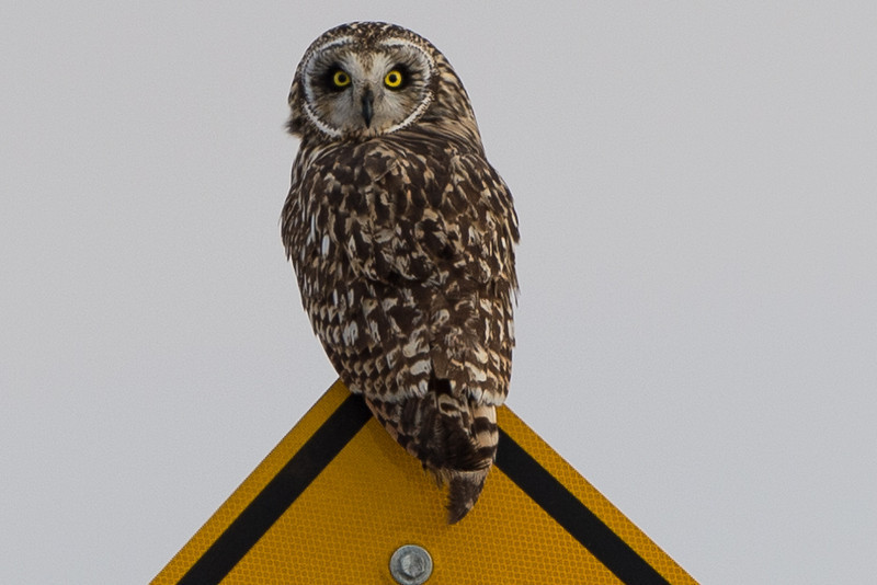 Female short eared owl, sitting on a road sign.