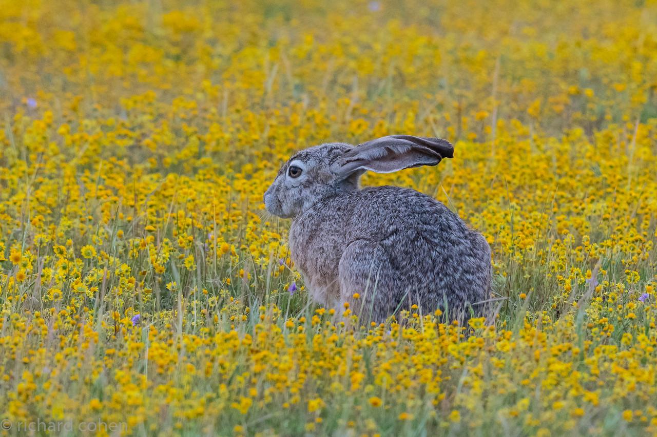 Jackrabbit in a field of gold.