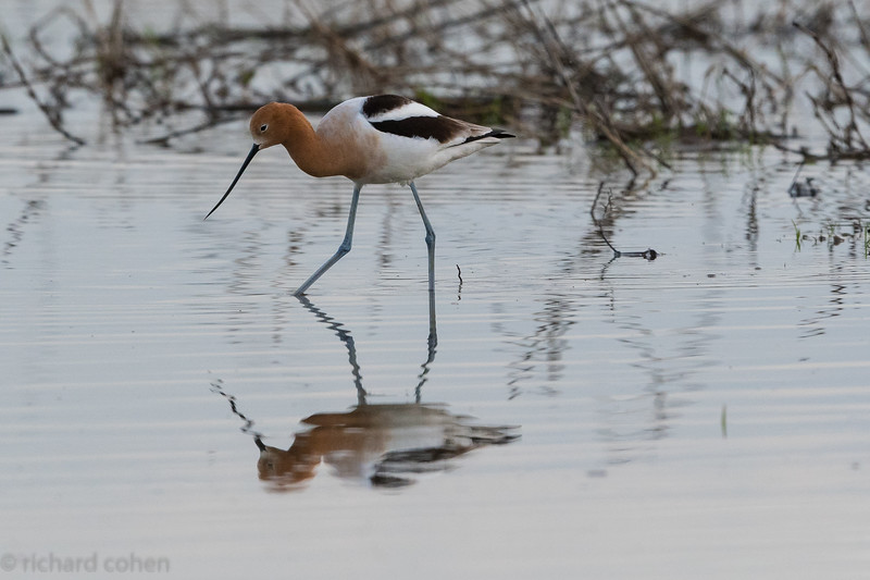 American avocet, have never seen these at SNWR before.