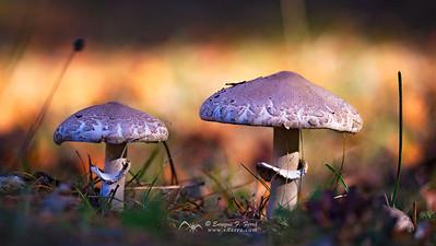 Mushrooms, P. Nt. Sierra Cebollera, La Rioja