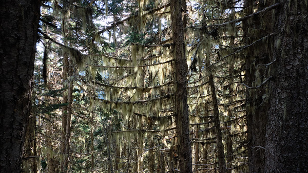 Moss draping over the trees