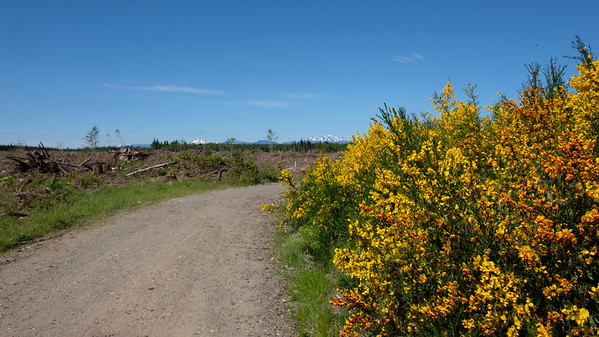 Olympic Mountains, gravel roads, and Scotch Broom