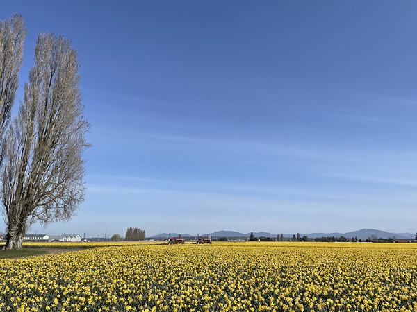 Daffodils in the windswept field