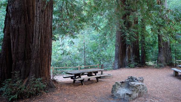 Massive trees along the Cross Marin Trail