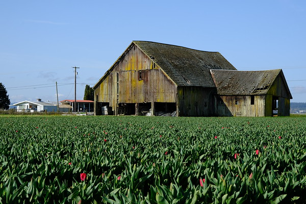 Old barn in a red tulip field not-quite-ready