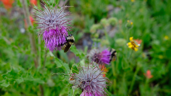 Bees and thistles
