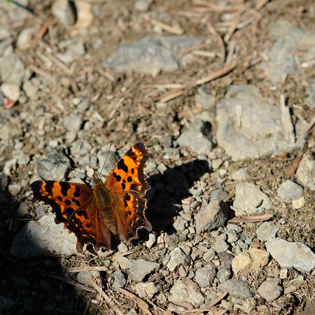 A butterfly of unknown (to me) species