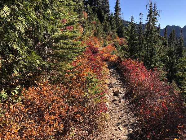 Huckleberries in full fall colors