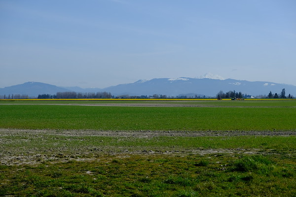 Thin yellow line of daffodils with Mt Baker looming in the background