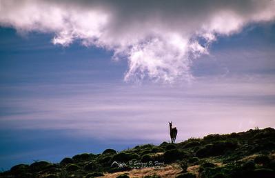 El guanaco  y la nube. P.N. Torres del Paine, Chile