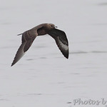 Parasitic Jaeger - Carlyle Lake Illinois