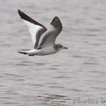Sabine's Gull - Carlyle Lake Illinois