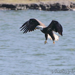 Bald Eagle trying to steal Osprey's trout