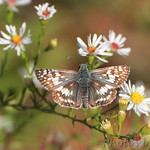 Common Checkered-Skippe