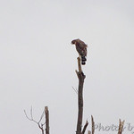 Red-shouldered Hawk - Robertsville SP