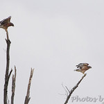 Red-shouldered Hawks - Robertsville SP
