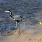Great Blue Heron and American Avocet