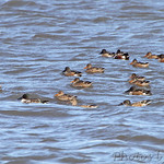 Northern Shovelers in Ellis Bay