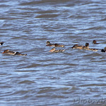 Northern Shoveler, American Wigeon and Green-winged Teal