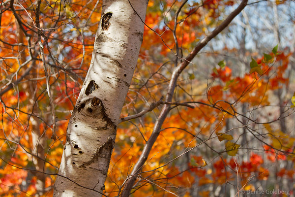 white birch, autumn leaves