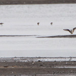 Black-bellied Plover and Dunlin's in background