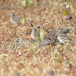 American Pipits