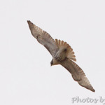 Red-tailed Hawk - Confluence Road