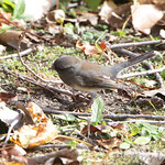 Dark-eyed Junco - Creve Couer Bottoms