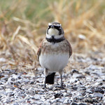 Horned Lark - Creve Couer Bottoms