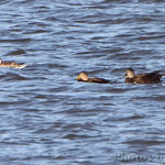 American Black Ducks and Northern Pintail